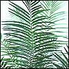 Borneo Palmen