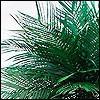 11. Echtblattpalmen