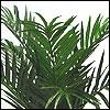 Öl-Palmen