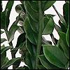 Zamio Pflanze
