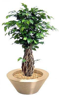 Ficus-Liana Bonsai   ca. 100cm (Kunstbonsai)