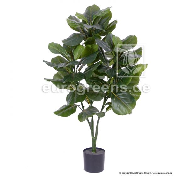grüner Geigenficus ca. 120-125cm 2. Wahl
