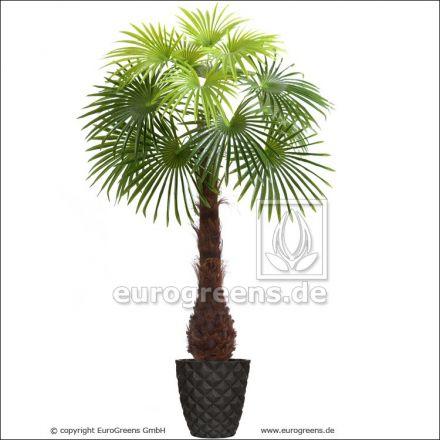 Kunstpflanze Fächerpalme ca. 170cm