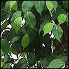 künstlicher Ficus